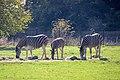 Chapman's Zebras (Equus quagga chapmani) (CWPG).jpg