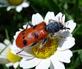 Chequered Beetle. Trichodes octopunctatus. Cleridae - Flickr - gailhampshire (1).jpg