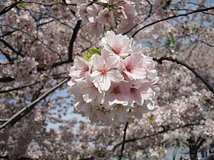 Close up photo of a bunch of Cherry Blossom fl...