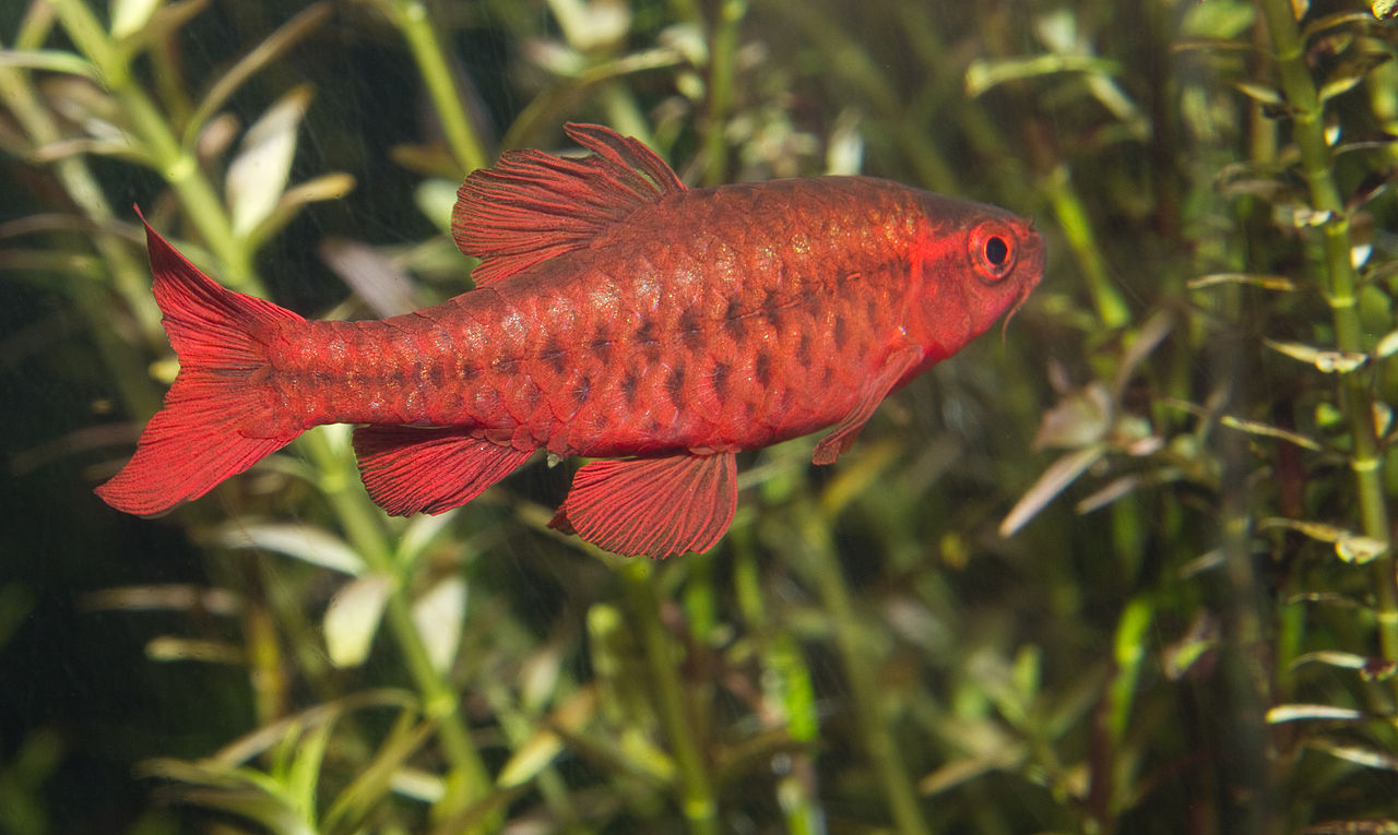 File cherry barb puntius wikimedia commons for Cherry barb fish