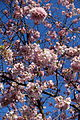 Cherry blossom @ Beaugrenelle @ Paris (25935668920).jpg