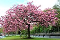 Cherry tree, Belfast (1) - geograph.org.uk - 1832881.jpg