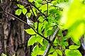 Chestnut-sided warbler (34240045501).jpg