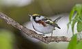 Chestnut-sided warbler 3.jpg
