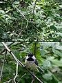 Chickadee With Detail (3681730942).jpg