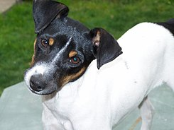 Chilean Fox Terrier.jpg