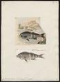 Chilodactylus antonii - 1700-1880 - Print - Iconographia Zoologica - Special Collections University of Amsterdam - UBA01 IZ13200013.tif