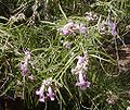 Chilopsis linearis.jpg