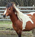 Chincoteague Stallion by Bonnie Gruenberg.jpg