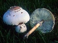 Chlorophyllum molybdites.jpg