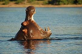 Chobe River Front, Botswana (2625496300).jpg