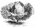 Chou Milan très hâtif de Paris Vilmorin-Andrieux 1883.png