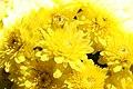 Chrysanthemum Sunny Brigitte 2zz.jpg