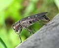 Chrysobothris affinis ovoposition.JPG