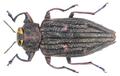 Chrysobothris chrysostigma (Linnaeus, 1758).png