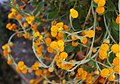 Chrysocephalum apiculatum 'Flambe Orange' Flowers 2850px.jpg