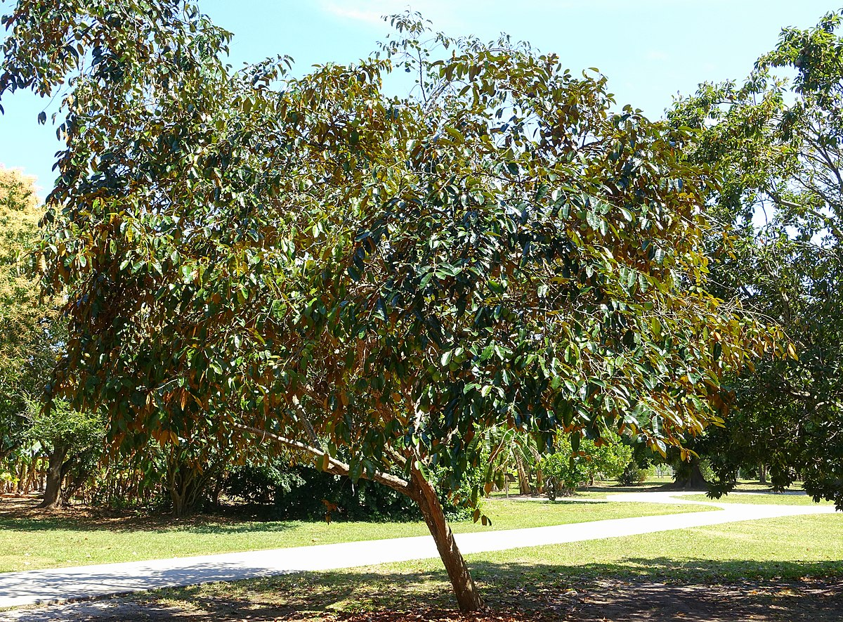 foto de Chrysophyllum cainito Wikipedia