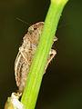 Cicadellidae - Leafhopper (9066922608).jpg