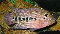 Cichlidae fish 2008 G3