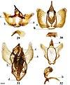 Cicinninae (10.3897-zookeys.815.27335) Figures 29–32.jpg