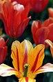 "Cincinnati - Spring Grove Cemetery & Arboretum "" Tulips - I See U"" (4539534660).jpg"