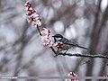 Cinereous Tit (Parus cinereus) (29749423758).jpg