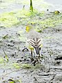 Citrine Wagtail female, Lynemouth Flash, Northumberland 5.jpg