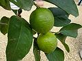 Citrus sp. (5863781960).jpg