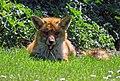 City of London Cemetery, Newham, London England - fox 08.jpg