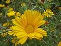 Cladanthus arabicus (Compositae) flower.JPG