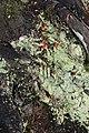 Cladonia macilenta 9497.JPG