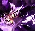 Clematis - Flickr - moba.jpg