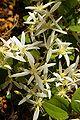 Clematis pubescens gnangarra 03.JPG