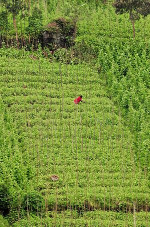 Phaseolus vulgaris - Climbing beans growing in DR Congo