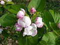 Close up of apple blossom in Bysing Wood - geograph.org.uk - 1261742.jpg