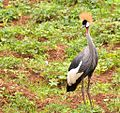 Closer, Crested Crane, Bunyonyi, Uganda (16160354331).jpg
