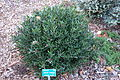 Cneorum tricoccon - San Luis Obispo Botanical Garden - DSC05965.JPG