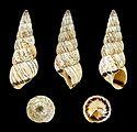 Cochlicella acuta acuta f. gigantea 01.JPG