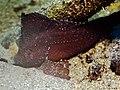Cockatoo Waspfish (6851459842).jpg