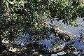 Cocodrilo Mexicano de la Laguna del Carpintero.jpg