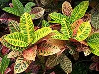 Codiaeum variegatum, Phipps Conservatory.jpg