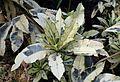 Codiaeum variegatum 'Andrew' kz3.jpg