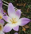 Colchicum speciosum009.jpg