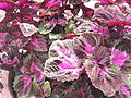 Coleus blumei-2-xavier cottage-yercaud-salem-India.JPG
