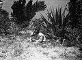 Collectie Nationaal Museum van Wereldculturen TM-10028914 Een man bij een Agave plant, de begroeiing boven White Wall Nederlandse Antillen fotograaf niet bekend.jpg