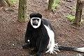 Colobus monkey at Amora Gedel Park, Hawassa (12) (28510904734).jpg