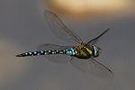 Common Hawker Dragonfly 6 (6082844793).jpg