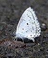 Common Hedge Blue Acytolepis puspa by Dr. Raju Kasambe DSCN1629 (3).jpg