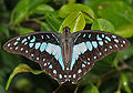 Common Jay (Graphium doson) in Hyderabad, AP W IMG 0487.jpg
