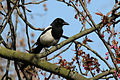 Common Magpie (Pica pica).JPG